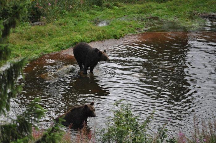 De stora Kamtjatkabjörnarna var också ute och fiskade